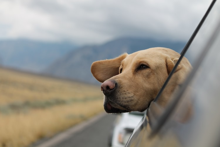 A Labrador breathing fresh air outside from the car's window